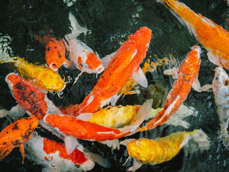 Pescados de lujo coloridos de la carpa, pescados del koi, orgánico natural japonés de las variaciones hermosas del color de Carpi fotografía de archivo libre de regalías