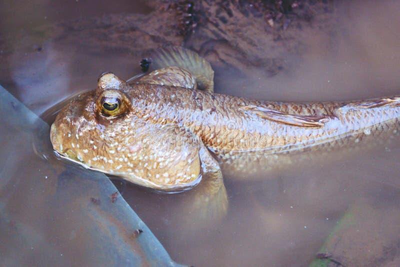 Pescados de Mudskipper, pescados anfibios, en el cierre de la playa del fango para arriba fotos de archivo libres de regalías