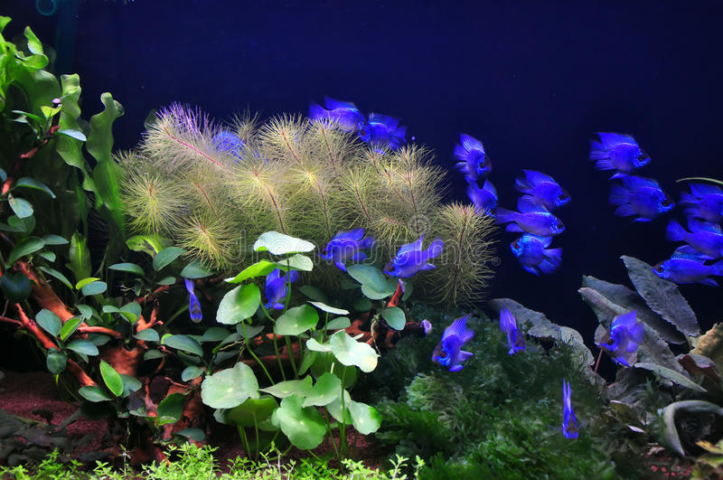 Pescados de neón azules eléctricos de la damisela fotos de archivo libres de regalías