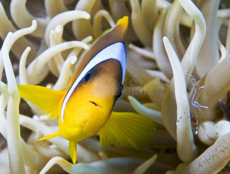Pescados de Nemo con el pequeño camarón fotografía de archivo libre de regalías