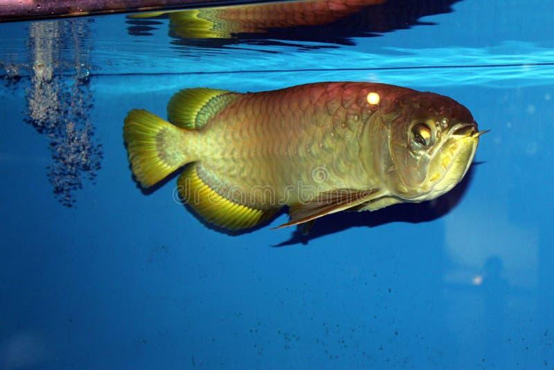 Pescados de oro del arowana foto de archivo