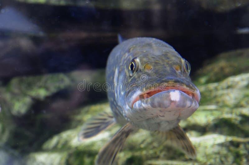 Pescados de Pike fotos de archivo libres de regalías