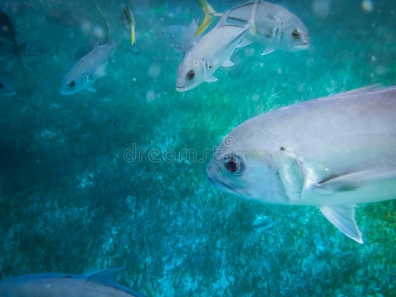 Pescados de plata del enchufe del ojo del caballo con latus amarillo del Caranx de la cola en el mar del Caribe cerca del calafat foto de archivo