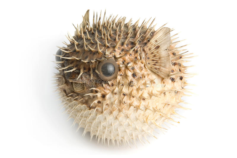 Pescados de puerco espín imagenes de archivo