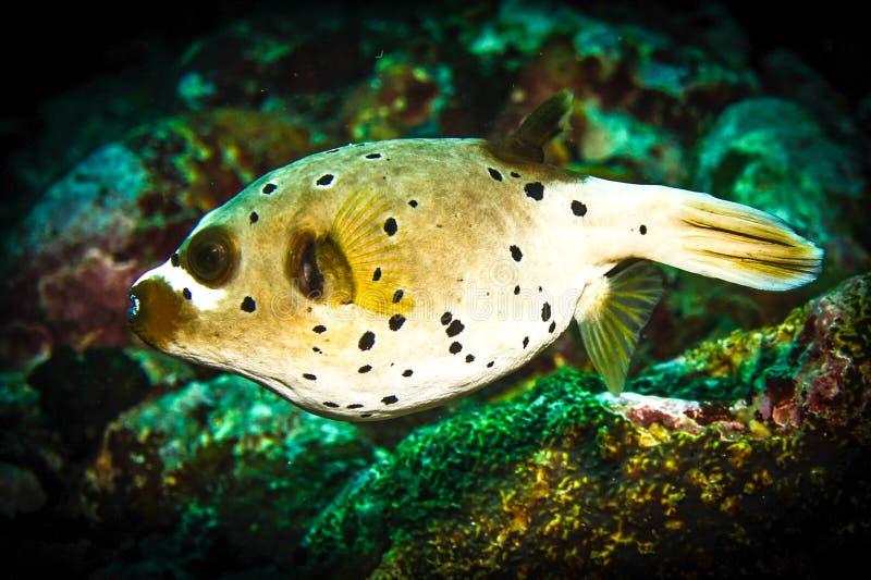 Pescados de puerco espín fotografía de archivo