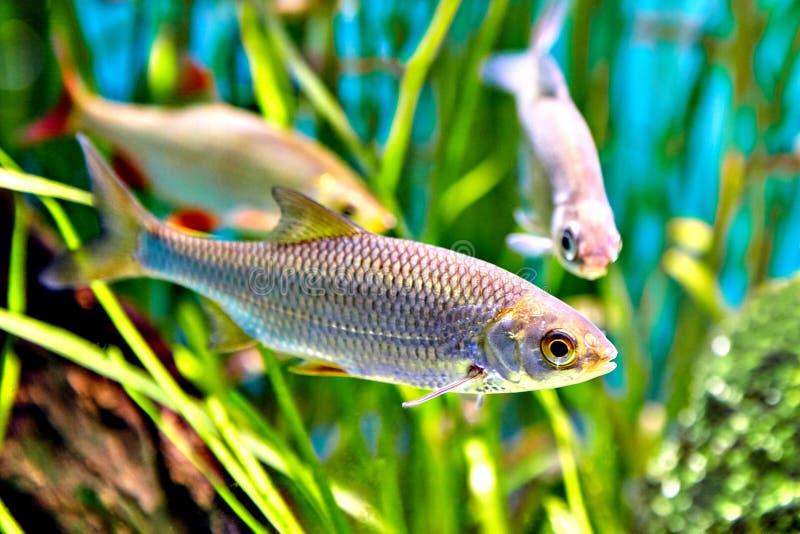Pescados de Rudd o erythrophthalmus comunes del Scardinius debajo del agua fotos de archivo