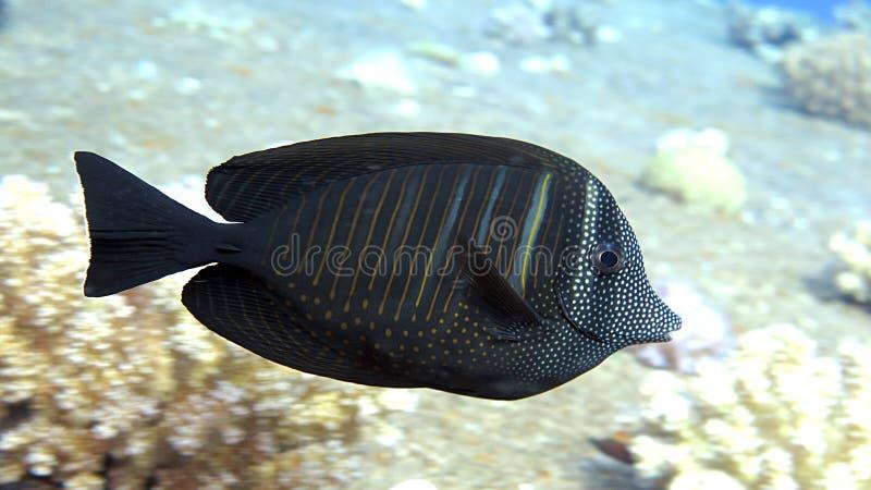 Pescados de Sailfin Tang imágenes de archivo libres de regalías
