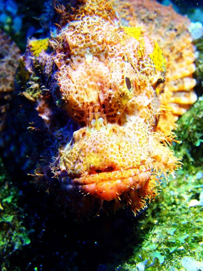 Pescados de Scorp fotografía de archivo libre de regalías