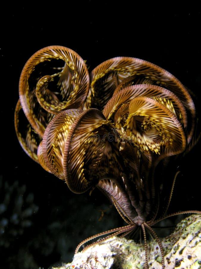 Pescados de Seastar del Mar Rojo fotos de archivo libres de regalías