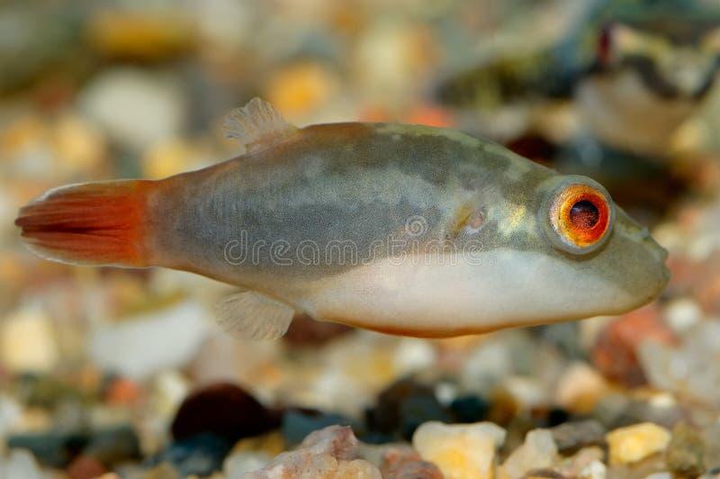 Pescados de Tetraodon imagenes de archivo