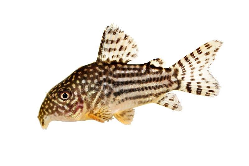 Pescados del acuario del ` s Cory de Sterba del sterbai de Cory Catfish Corydoras imagen de archivo