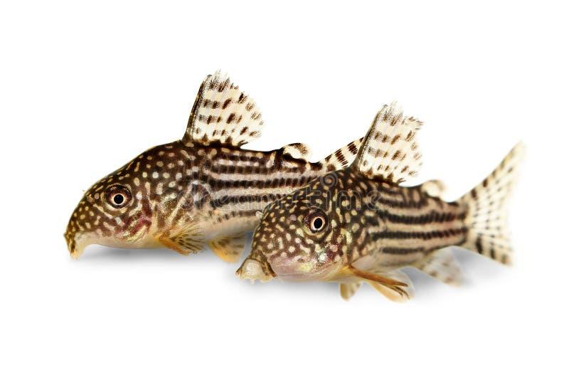 Pescados del acuario del ` s Cory de Sterba del sterbai de Cory Catfish Corydoras foto de archivo