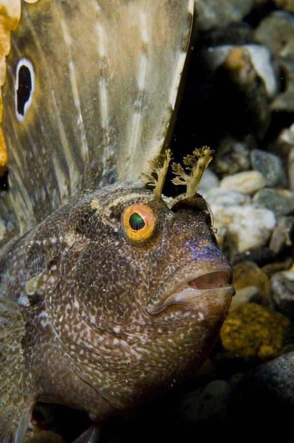 Pescados del Blenny de la mariposa fotografía de archivo