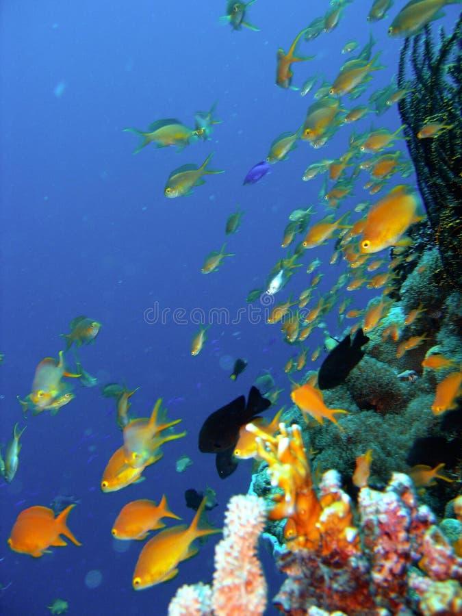 Pescados del filón coralino fotos de archivo