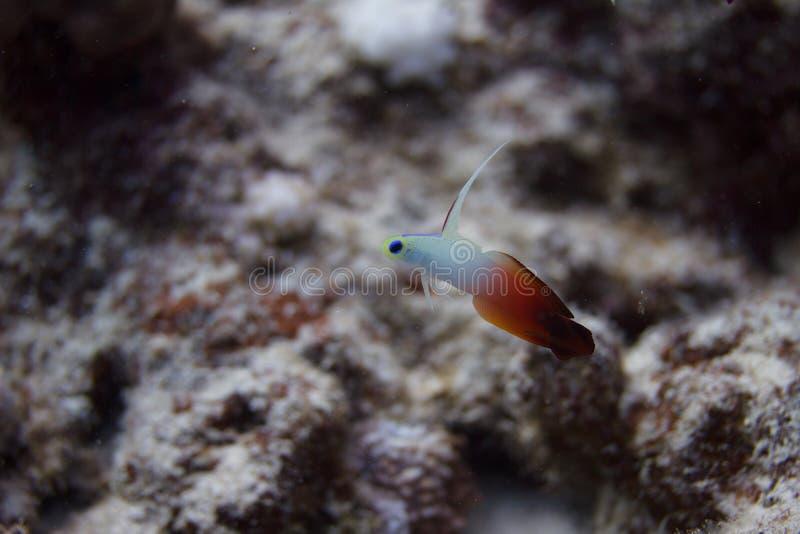Pescados del fuego en Coral Reef foto de archivo
