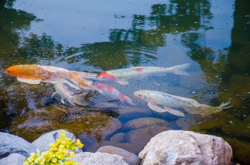 Pescados del koi de la carpa debajo del agua imágenes de archivo libres de regalías