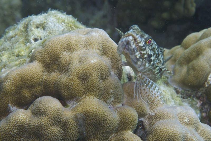 Pescados del lagarto de la isla de Balicasan, Filipinas fotos de archivo libres de regalías