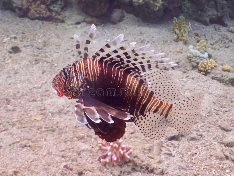 Pescados del león El zambullirse en mundo subacuático del arrecife de coral foto de archivo