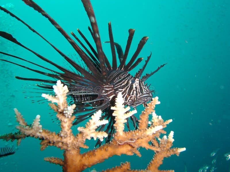 Pescados del león en coral fotografía de archivo libre de regalías