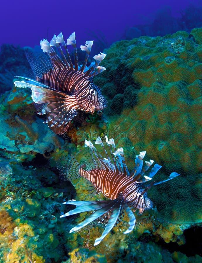 Pescados del león (Pterois) imagen de archivo