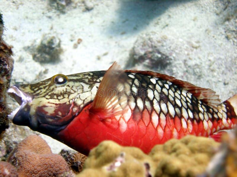 Pescados del loro que comen el coral imagen de archivo