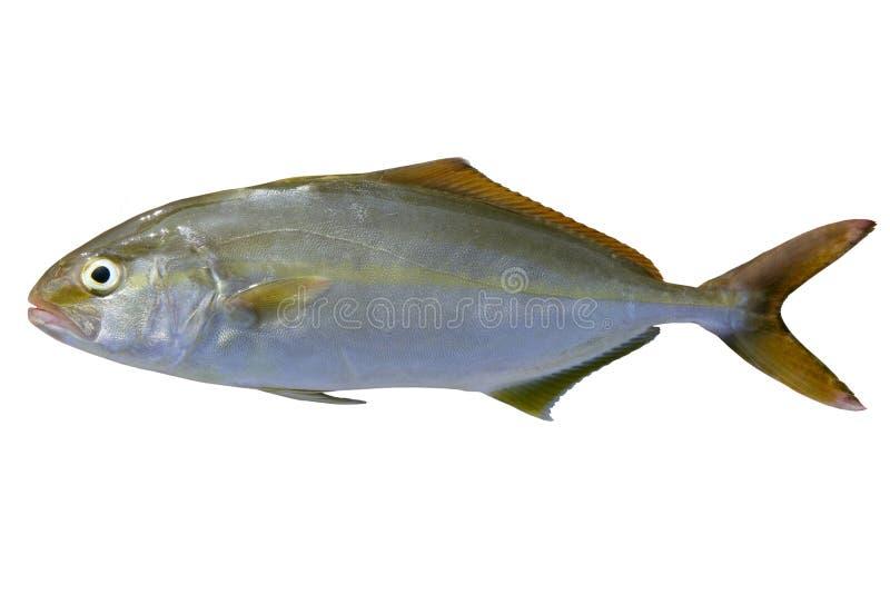 Pescados del medregal de los pescados del dumerili del Seriola mayores fotografía de archivo libre de regalías