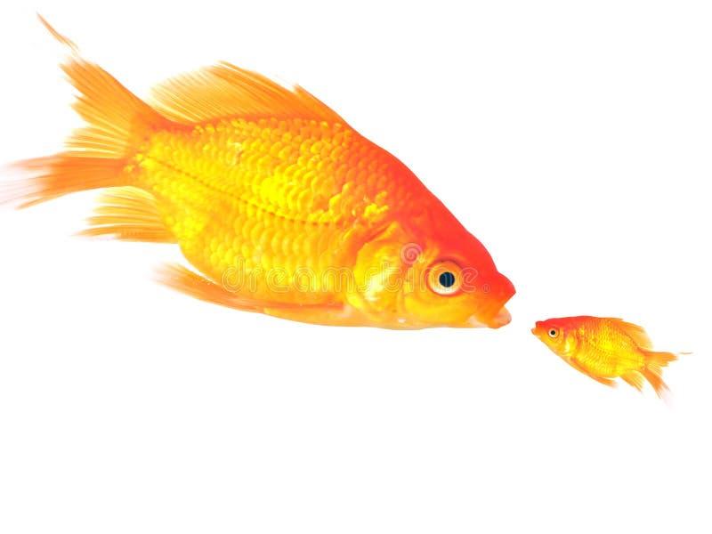 Pescados del oro fotos de archivo