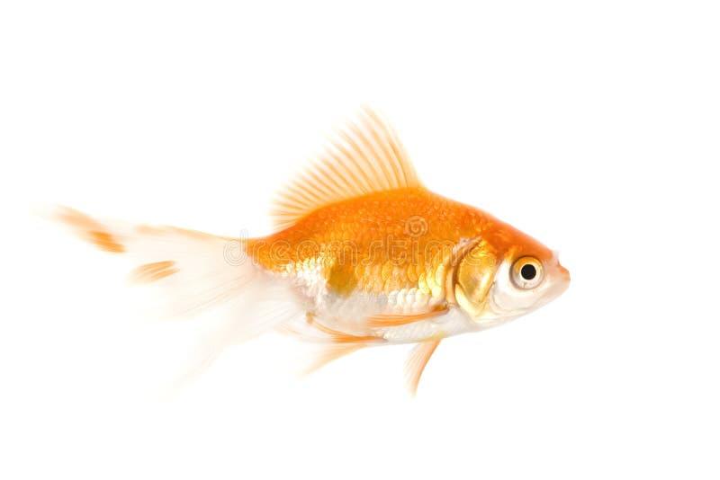 Pescados del oro sobre blanco foto de archivo