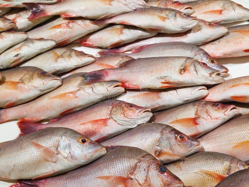 Pescados del pargo rojo foto de archivo. Imagen de