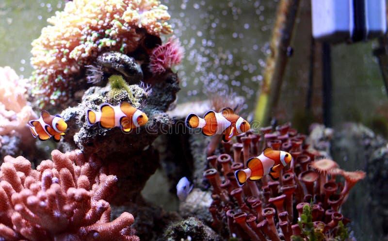 Pescados del payaso foto de archivo