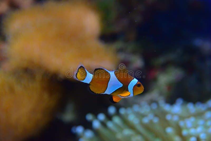 Pescados del payaso con diversos corales en la anémona de mar reconocible del fondo particularmente a la derecha el abajo a la de fotografía de archivo