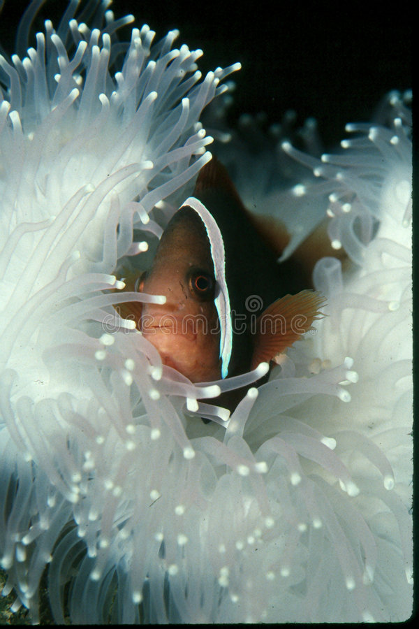 Pescados del payaso en la anémona blanca fotos de archivo libres de regalías