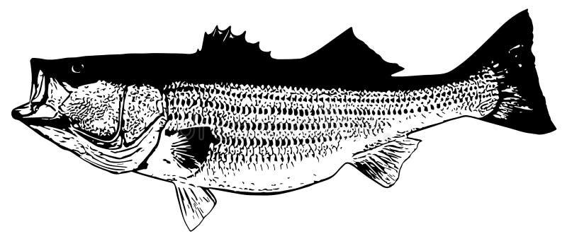 Pescados del striper de la lubina rayada que pescan en el fondo blanco libre illustration