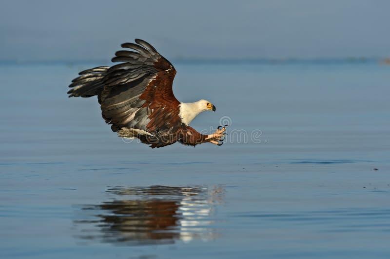 Pescados Eagle imágenes de archivo libres de regalías