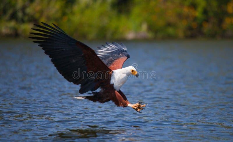 Pescados Eagle africanos en el momento que el ataque en la presa kenia tanzania safari La África del Este fotos de archivo