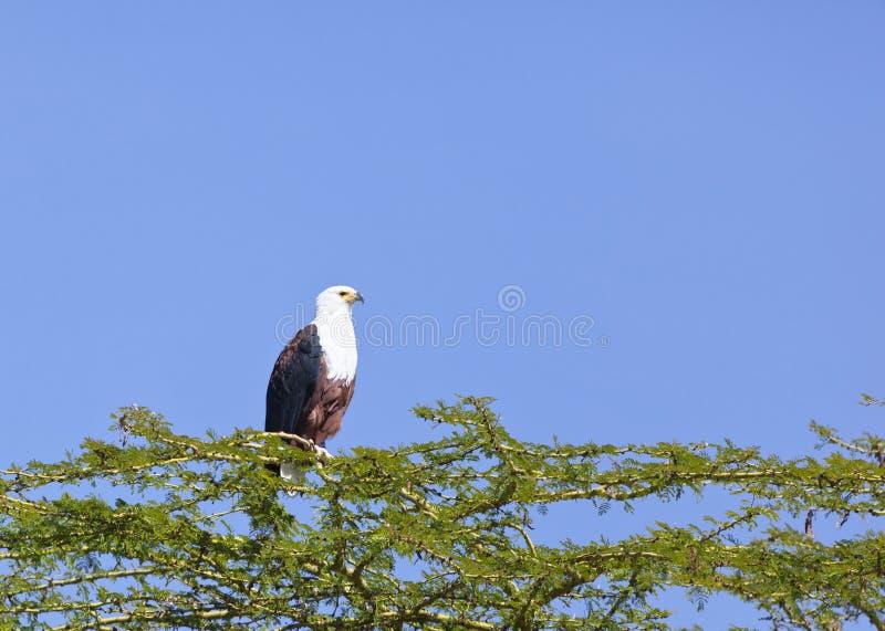 Pescados Eagle en el lago Naivasha, Kenia fotografía de archivo libre de regalías