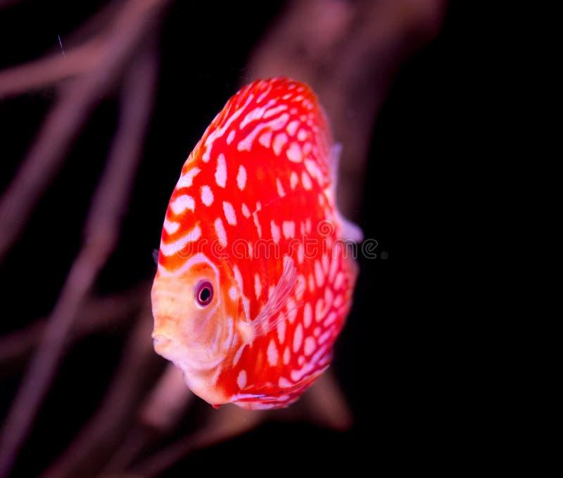 Pescados en acuario, pescados tropicales del disco en acuario Disco de Symphysodon del r?o Amazonas Diamante azul, snakeskin, foto de archivo libre de regalías