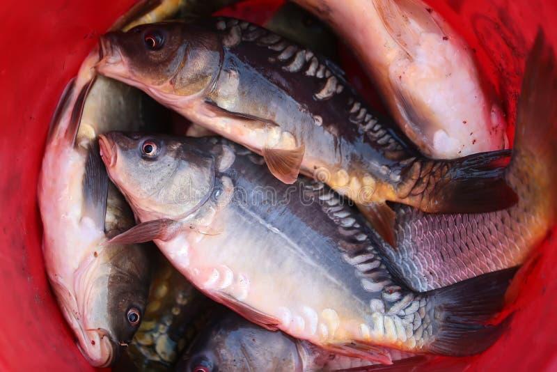 Pescados en cuenco fotografía de archivo libre de regalías