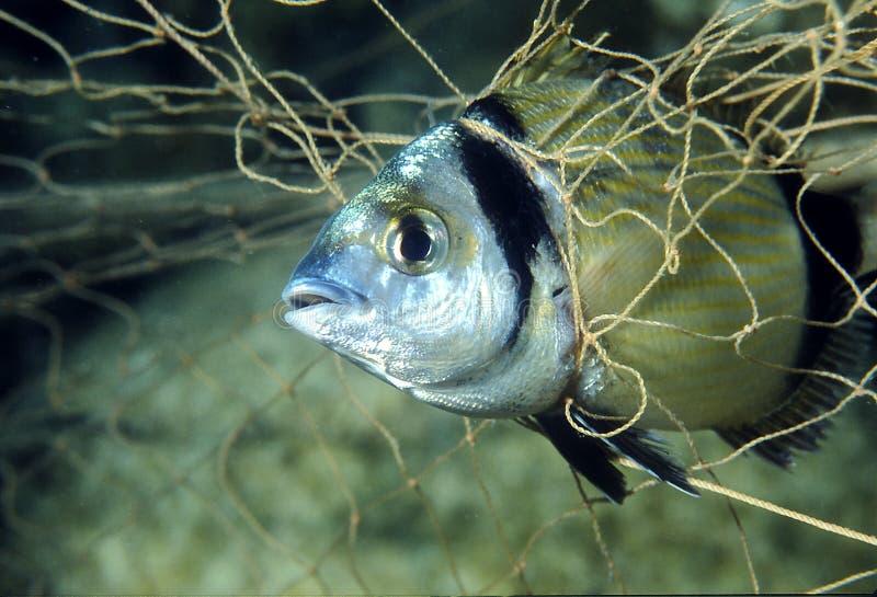 Pescados en la red imágenes de archivo libres de regalías
