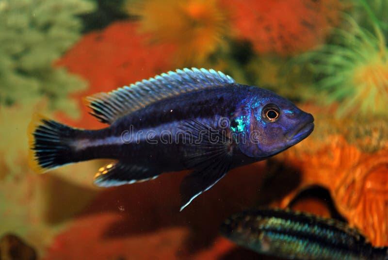 Pescados en un acuario imagen de archivo libre de regalías