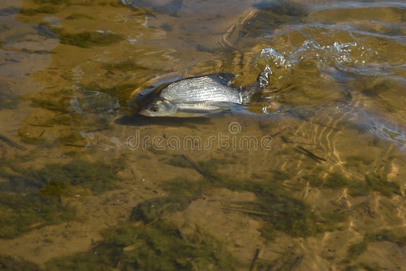 Pescados enfermos en agua cerca en la costa imagenes de archivo