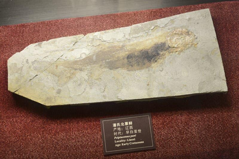 Pescados fósiles fotografía de archivo libre de regalías