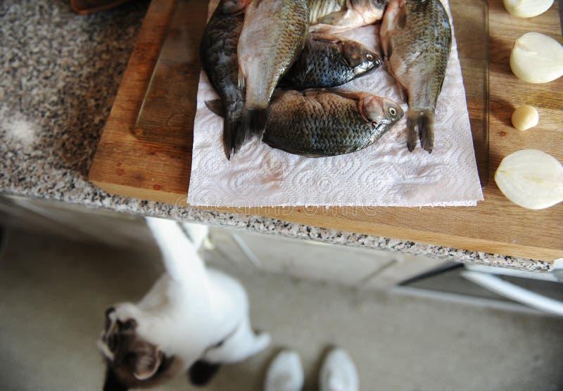 Pescados frescos crudos enteros en tablero cortado Mirada del gato del piso a los pescados en el fondo imagen de archivo