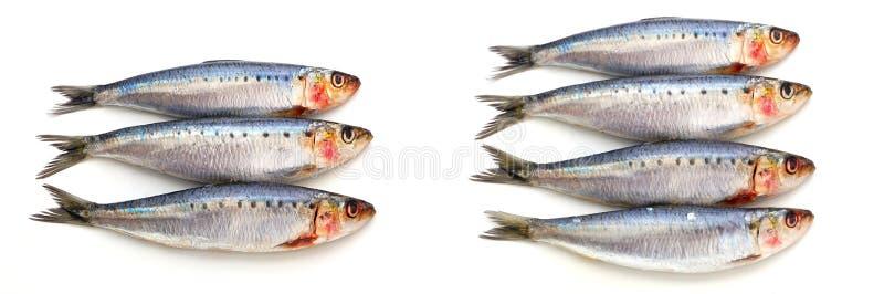 Pescados frescos de la sardina fotografía de archivo libre de regalías