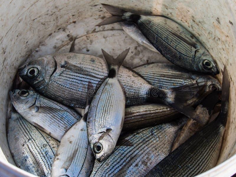 Pescados frescos en la cesta foto de archivo libre de regalías