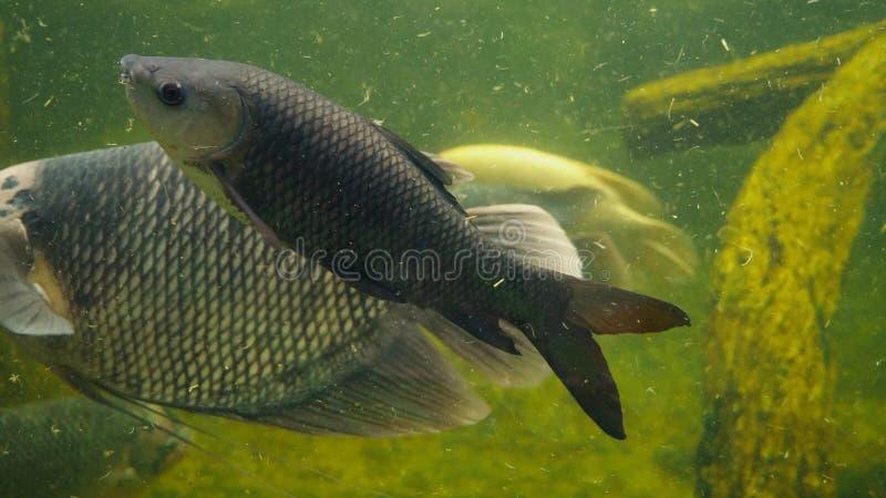 Pescados gigantes del Osphromemus gorami que nadan en un acuario con agua fangosa sucia fotos de archivo libres de regalías