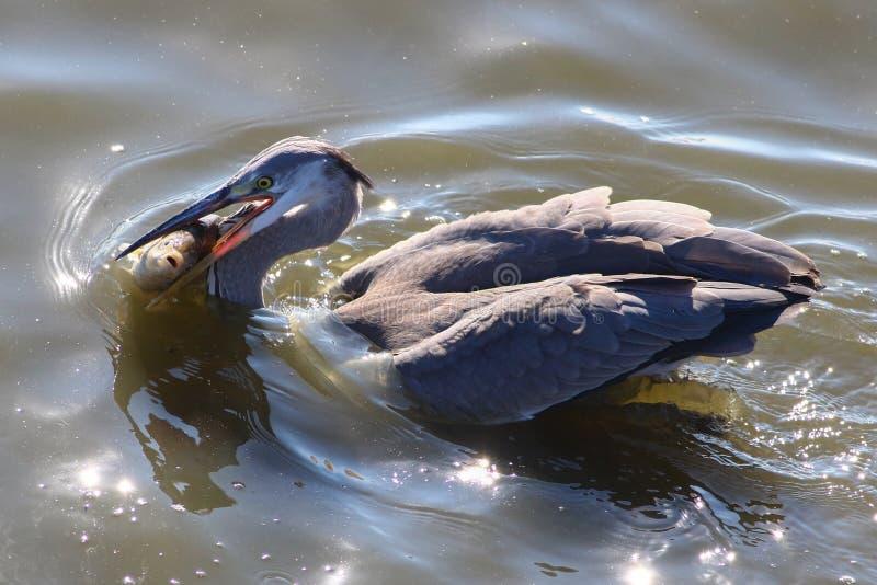 Download Pescados Grandes De La Captura De Grey Heron Foto de archivo - Imagen de vivo, retén: 64207790