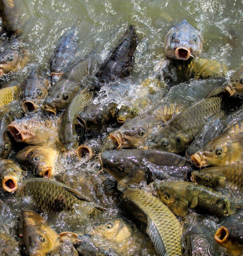 Pescados hambrientos imagenes de archivo
