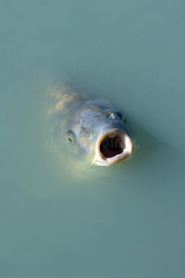 Pescados hambrientos fotografía de archivo libre de regalías