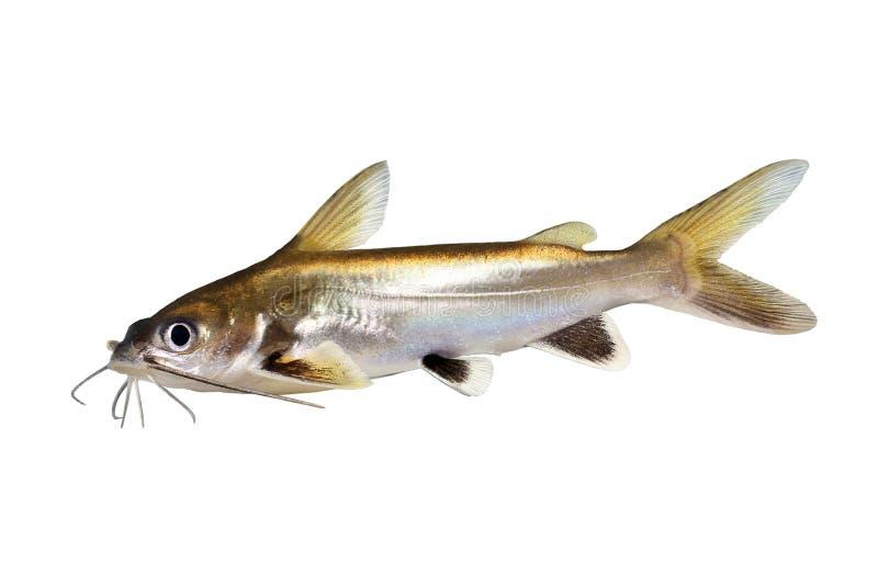 pescados inclinados plata Plata-inclinados del acuario del seemanni de Ariopsis del siluro del tiburón aislados foto de archivo libre de regalías